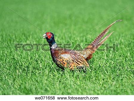 Pictures of Common Pheasant ( Phasianus colchicus ). Russia.