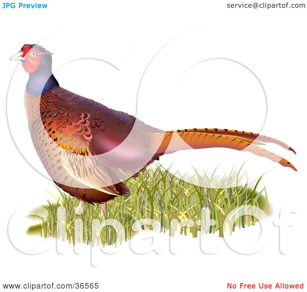 Clipart Illustration of a Common Pheasant (Phasianus Colchicus) In.