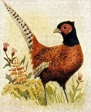 1000+ images about Pheasants on Pinterest.
