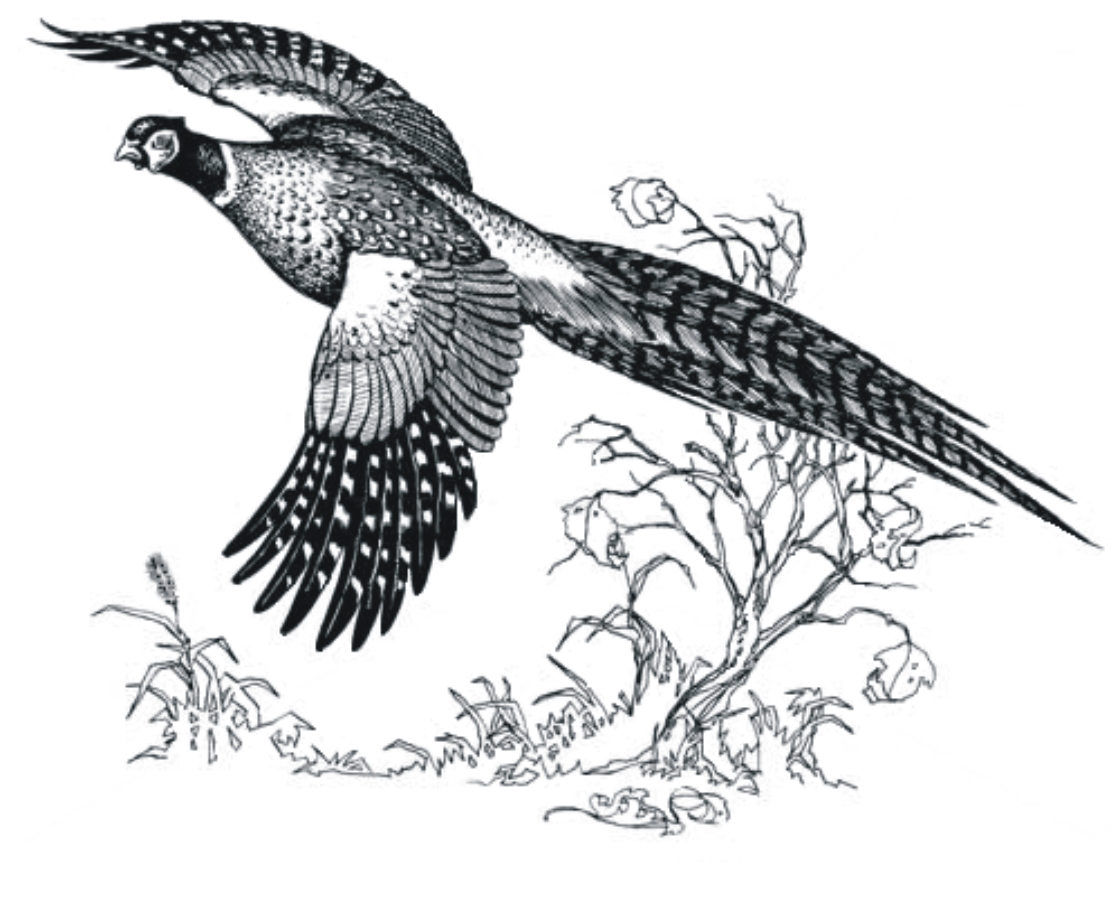 Pheasant Clipart Clipground