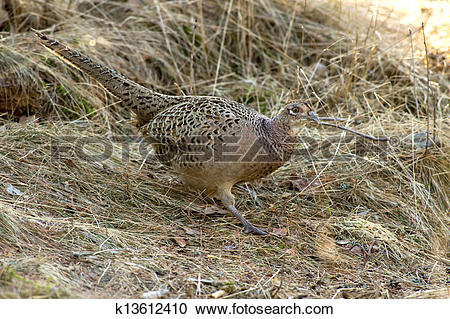 Stock Photography of The Hen Pheasant (Phasianus colchic k13612410.