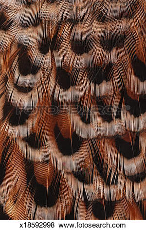 Pictures of Close up of hen pheasant feathers x18592998.