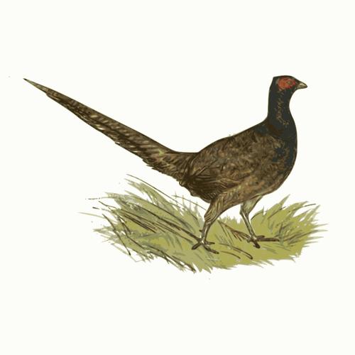 Pheasant in zoo vector clip art.