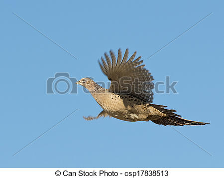 Stock Photography of Hen Pheasant.