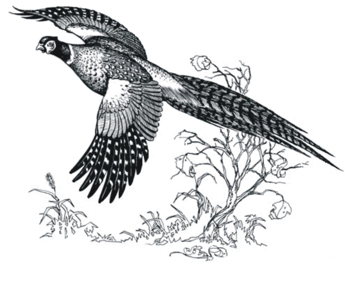 Pheasant hunting clip art 2.