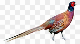 Free PNG Pheasant Clip Art Download.
