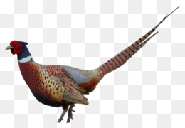 Swinhoe S Pheasant PNG and Swinhoe S Pheasant Transparent.