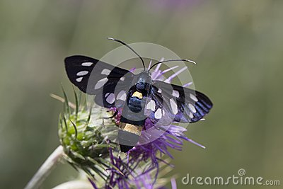 Nine Spotted Butterfly Stock Photos, Images, & Pictures.