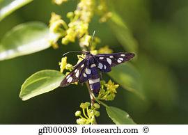 Amata phegea Stock Photo Images. 14 amata phegea royalty free.