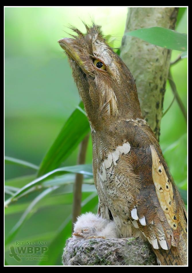 1000+ images about All things Frogmouth/Nightjar on Pinterest.