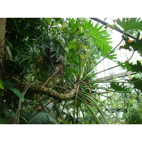 Buy Lacy Tree Philodendron.