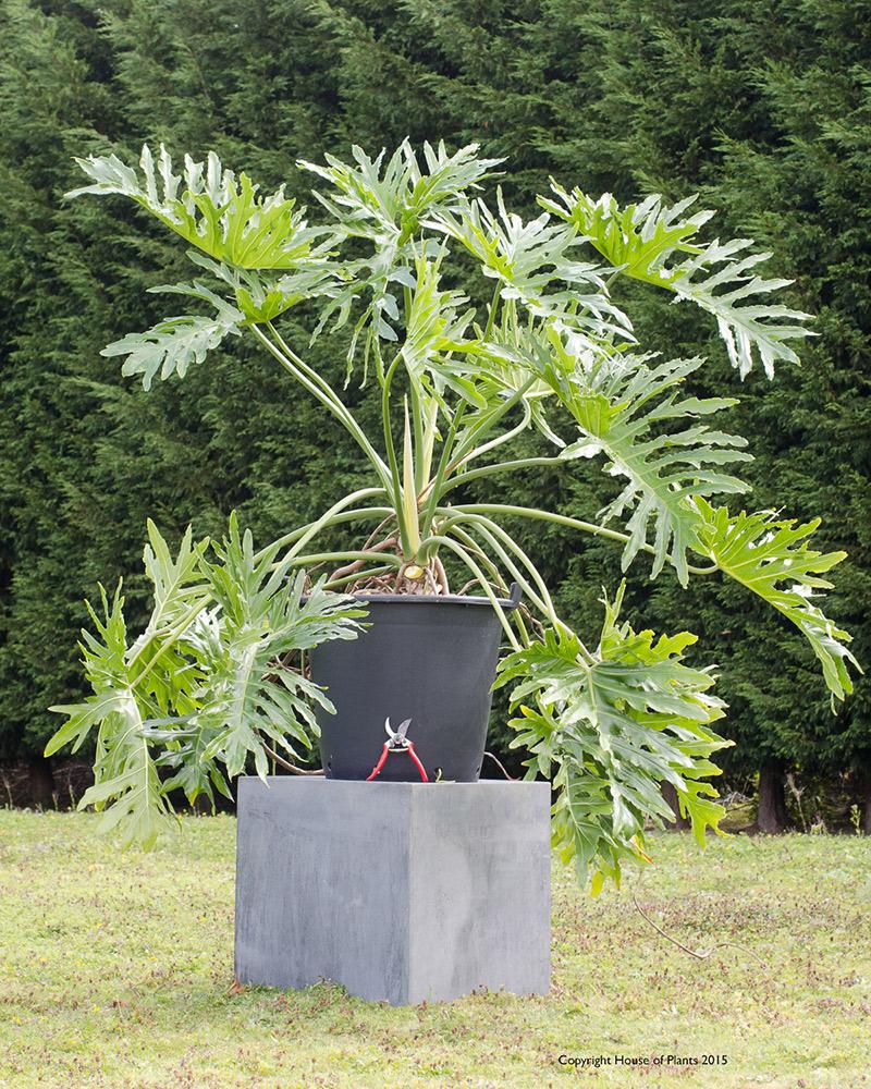 Philodendron bipinnatifidum Selloum Specimen Plant.