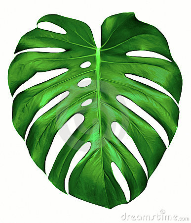 Split leaf philodendron clipart.