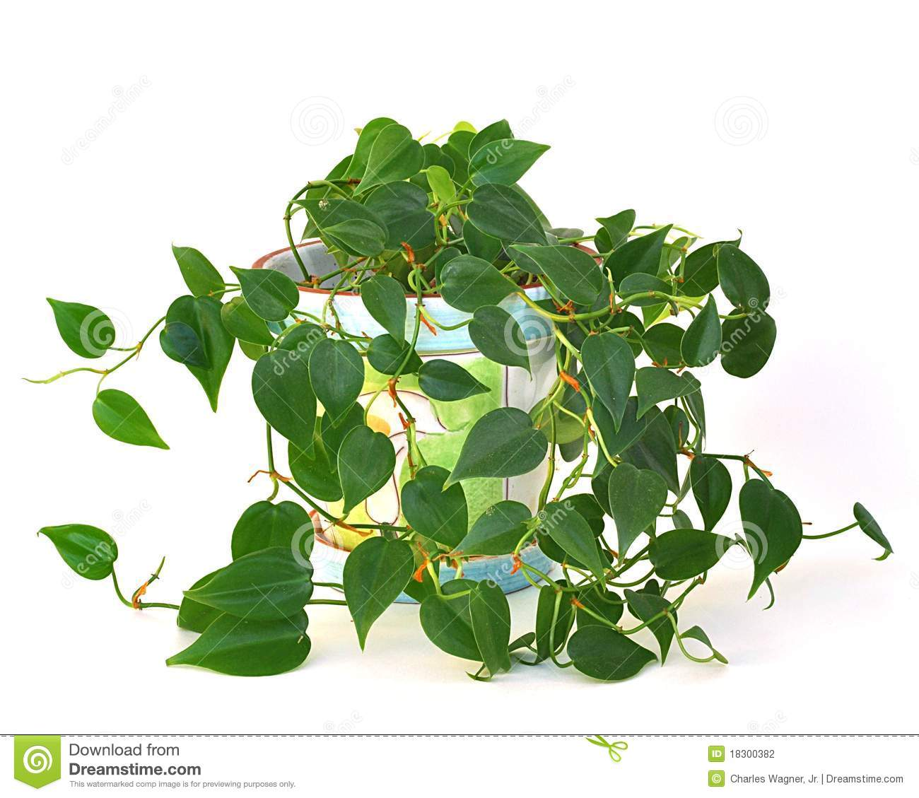 Philodendron Stock Photos, Images, & Pictures.