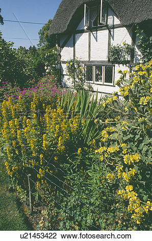 Stock Photo of Yellow Lysimachia and Phlomis in summer garden.