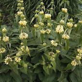 Stock Photograph of jerusalem sage, phlomis fruticosa, shrub.