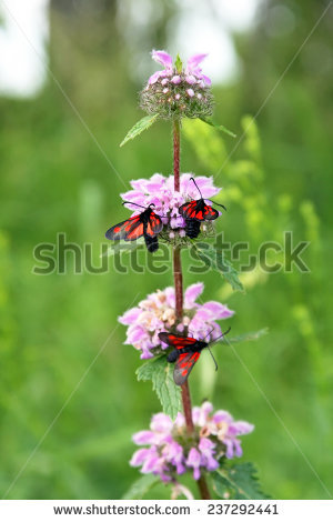 Phlomis Stock Photos, Images, & Pictures.