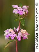 Phlomis tuberosa Stock Photos and Images. 8 phlomis tuberosa.