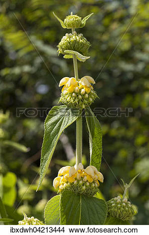 Stock Photo of Turkish sage (Phlomis russeliana) prevalent in.