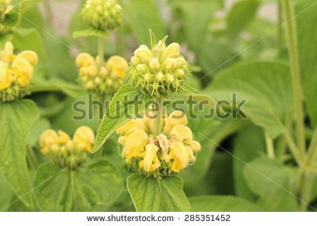 Yellow Apricot Flower Stock Photo 447157336.