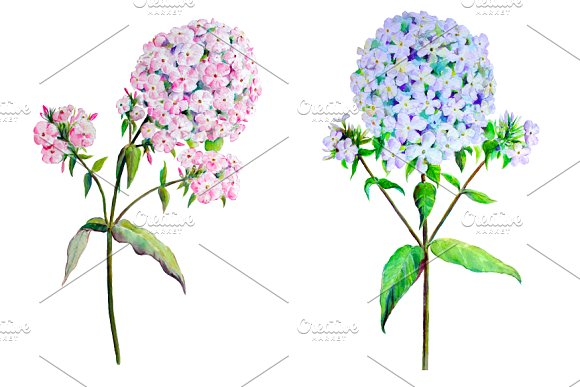 Watercolor Phlox Pink & Blue Clipart ~ Illustrations on Creative.
