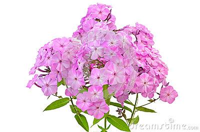 Pink Phlox Flowers Stock Photo.