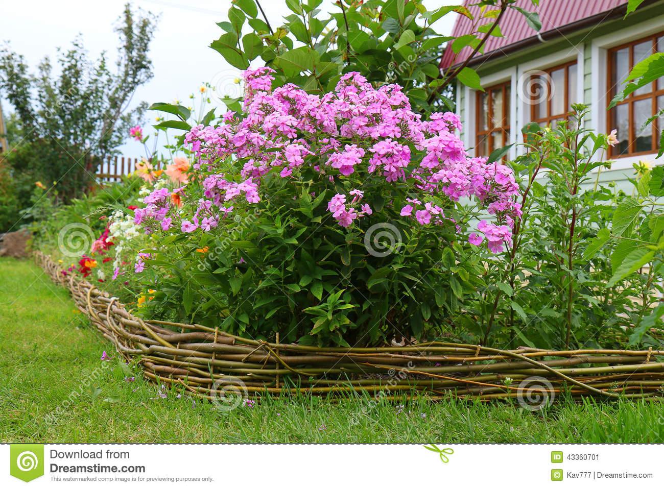 Phlox Paniculata In Bloom Stock Photo.