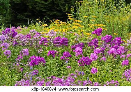Stock Photo of Garden phlox Phlox paniculata and false sunflower.