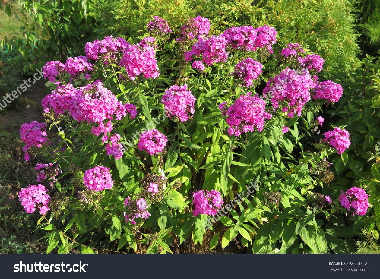 Blooming Cultivar Garden Phlox Phlox Paniculata Stock Photo.