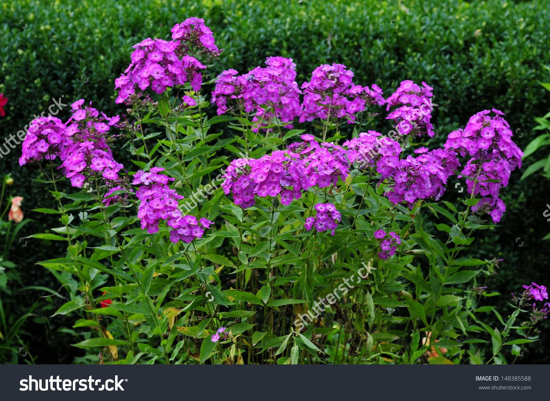 Phlox Paniculata Garden Phlox Bloom Stock Photo 148385588.