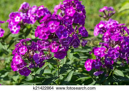 Stock Photo of Phlox paniculata (Garden phlox) in bloom k21422864.
