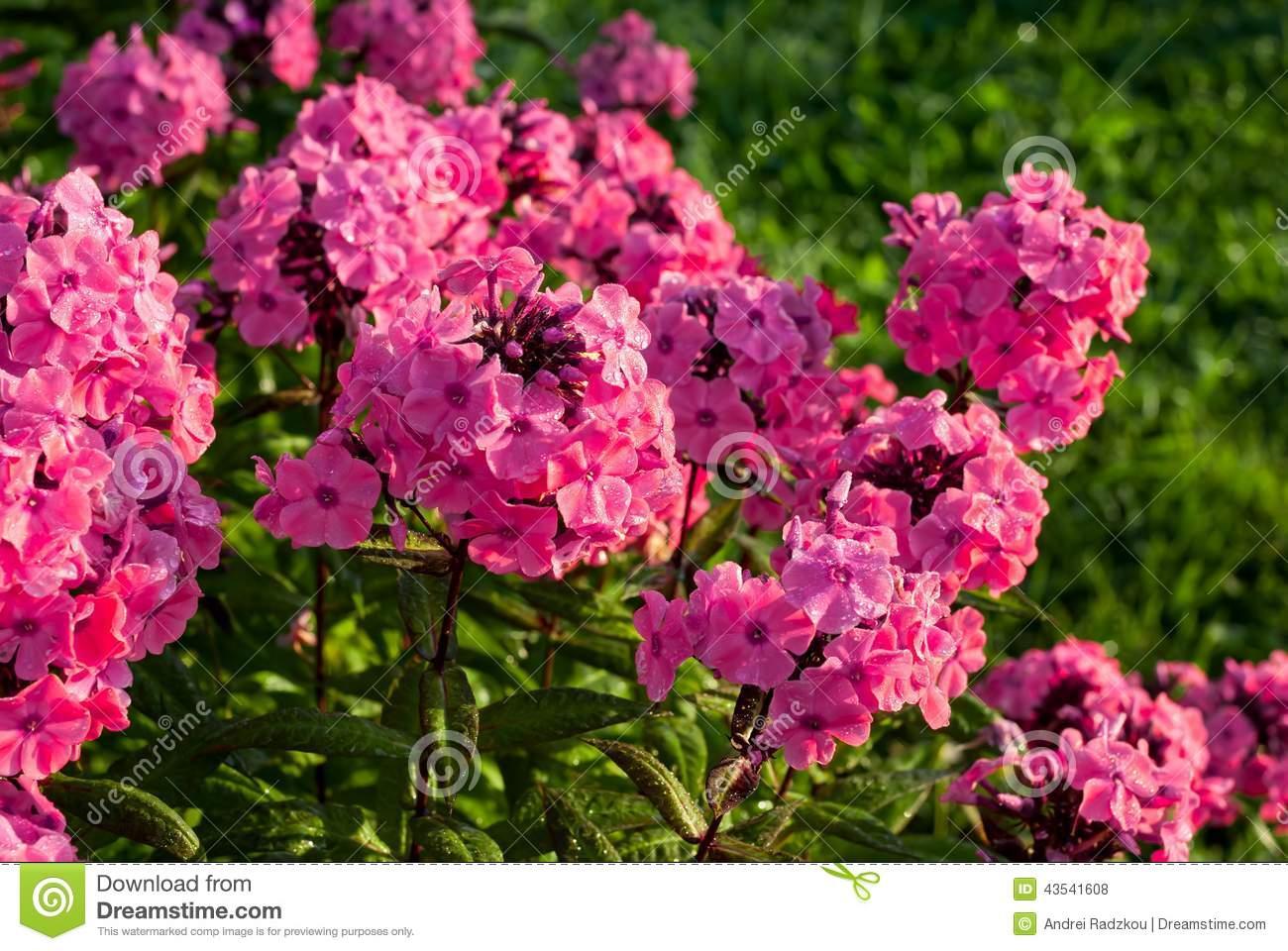 Phlox Paniculata Stock Photo.