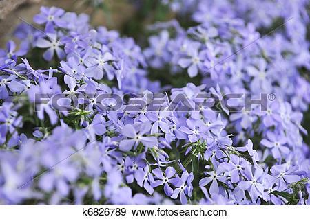 Stock Photograph of purple phlox subulata k6826789.