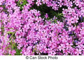Stock Photography of Phlox subulata undersized flowers in a meadow.