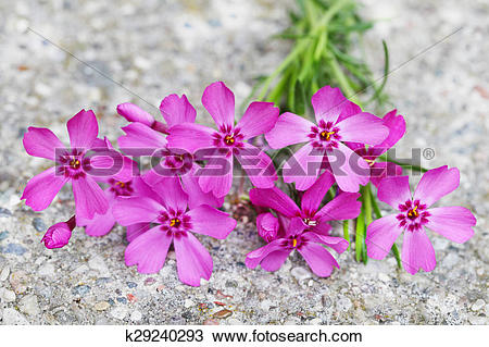 Stock Photo of Pink Phlox Flower k29240293.