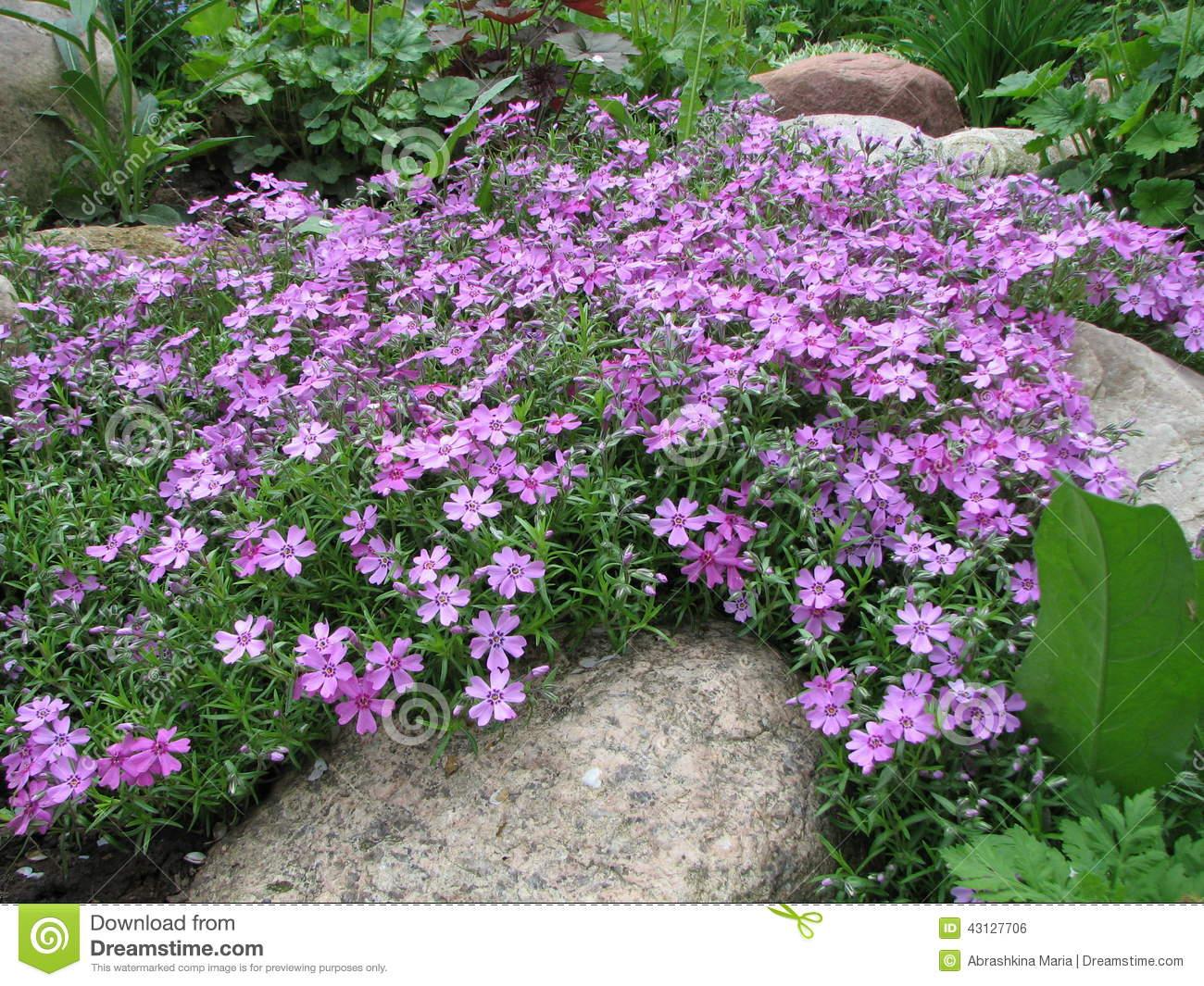 Styloid Flowering Phlox (Phlox Subulata) Stock Photo.