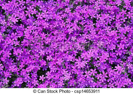 Clipart of Phlox subulata flowers background.