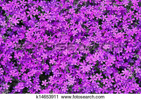 Clipart of Phlox subulata flowers background k14653911.