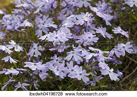 Pictures of Creeping phlox, moss phlox, moss pink, or mountain.