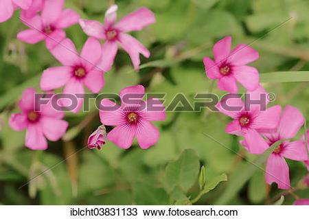 "Stock Photo of ""Moss Phlox or Creeping Phlox (Phlox subulata."