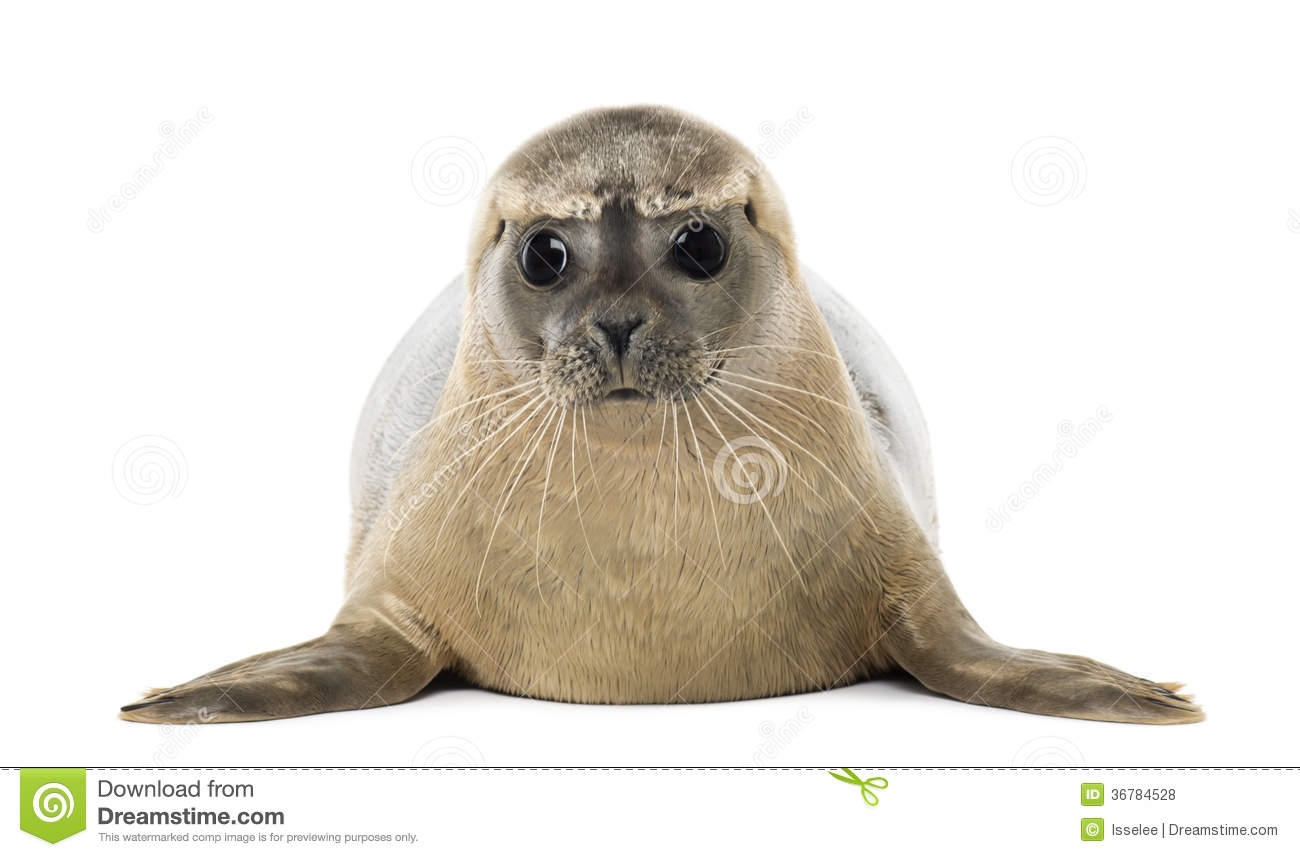 Common Seal Lying, Phoca Vitulina, 8 Months Old, Isolated Stock.