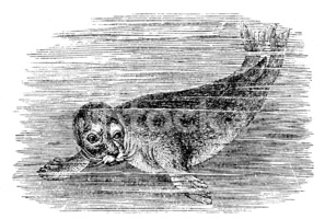 Antique Illustration of Harbour Seal (phoca Vitulina) stock.