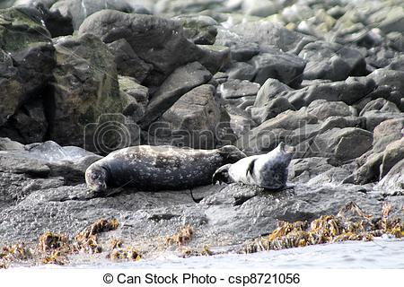 Stock Image of Stejneger's seals Phoca vitulina.