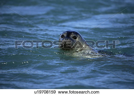 Stock Photograph of Harbour or Common seal (Phoca vitulina.