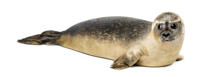 Side View Of A Common Seal Lying On The Side, Phoca Vitulina.