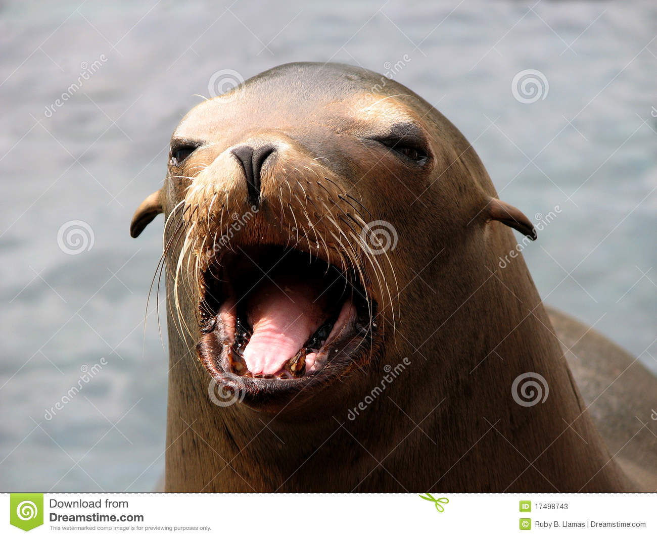 Harbor Seal (Phoca Vitulina) Face Stock Photos.