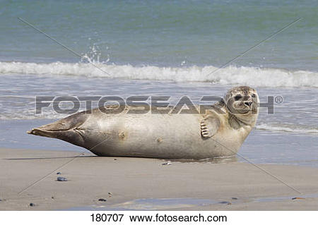 Picture of Common Seal, Harbour Seal (Phoca vitulina vitulina.