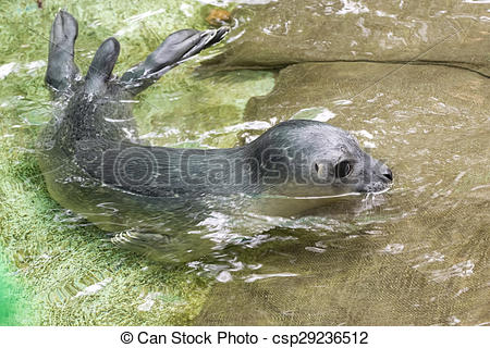 Stock Photography of Newborn harbour seal (Phoca vitulina.