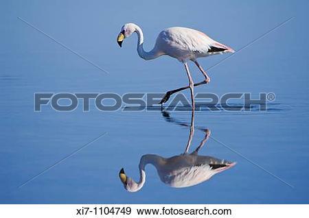 Stock Photograph of Puna or James Flamingo Phoenicoparrus jamesi.