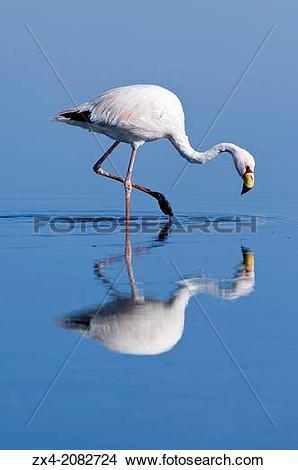 Stock Photo of Puna or James Flamingo (Phoenicoparrus jamesi.